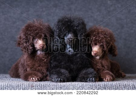Group of three poodle puppies on grey background at studio looking at camera