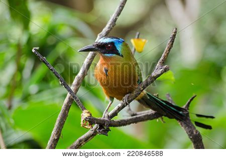 View of a spectacular blue crowned mot mot bird perched on a tree in Tobago.  The bird, latin name Momotus momota, is very popular in the island nation of Trinidad and Tobago and is pictured on the $5 banknote.