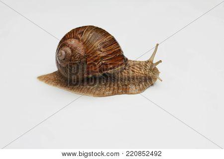 Escargot de Bourgogne, Roman Snail. Snail on white background close-up