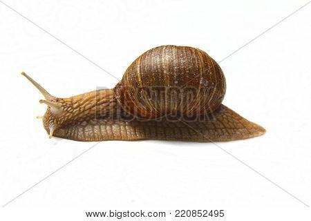 Tasty snail. Escargot de Bourgogne, Roman Snail. Snail on white background