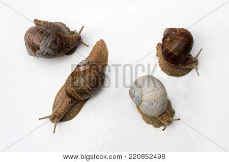 French delicacies: snails. Escargot de Bourgogne, Roman Snail
