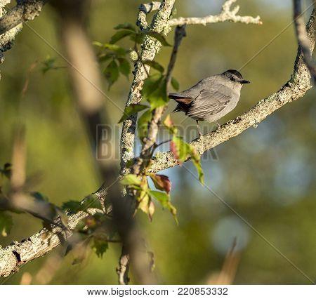 Gray Catbird peering over shoulder making eye contact