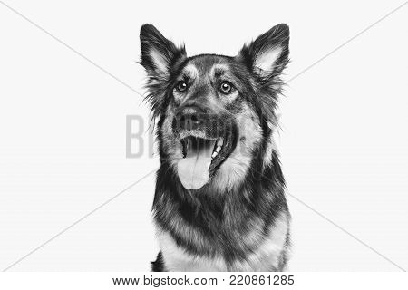 beautiful mixed breed dog isolated on white. copy space.