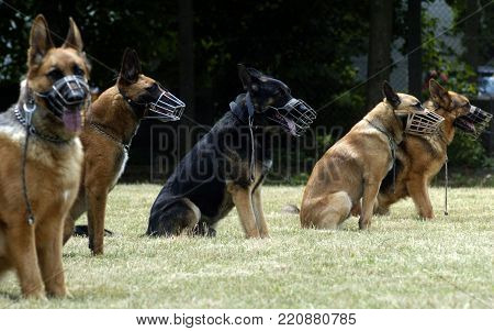 Official police german shepard and belgian malinois on training