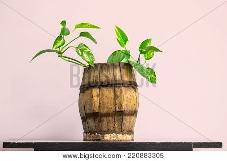 House plant in vintage wooden barrel on a wall shelf as green leaf decoration background