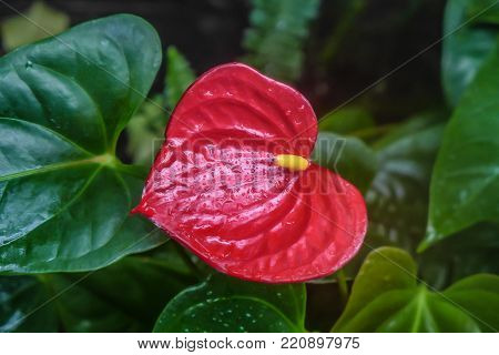 The red Anthurium flowers on green leaf background