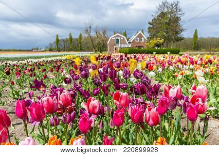 Lisse, the Netherlands - 23 April 2017: Beautiful orange and yellow tulip fields around Lisse in April