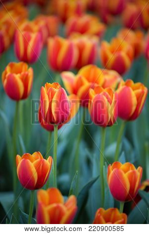 Blurred background image of Red tulips, Colourful tulip, Sun light flare