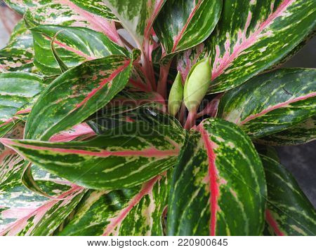 Close up green red leaf caladium leaf plant texture in nature for background.