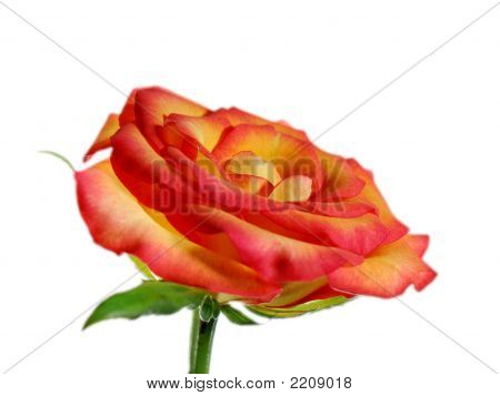 Single Rose With Glow On White