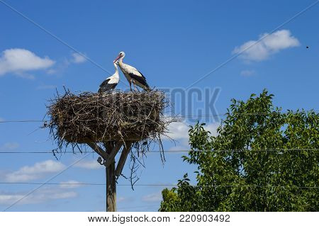 storks that nest in interesting places, waiting for the birth of their offspring in the stork's,natural stork's nest.
