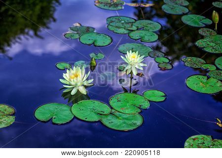 Beautiful white water lily flowers and green leaves on the pond surface with blue sky and clouds reflecting on water surface