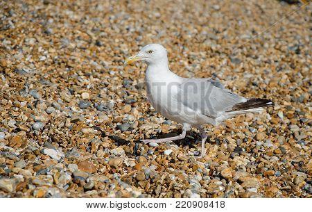 Gull on a stony beach on the English coast.