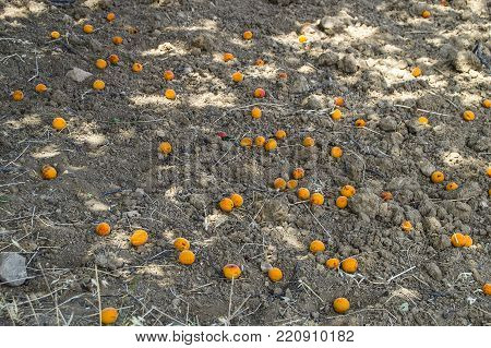 place to collect spilled apricots, ripe apricots from the trees fall to the ground