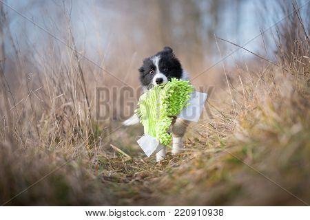 Running border collie puppy in field in winter