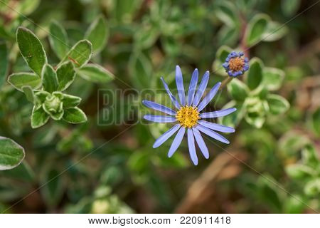 Felicia amelloides, also known as blue marguerite or blue daisy, is a flowering plant of the family Asteraceae, native to South Africa.