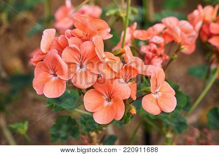 Pelargonium inquinans, commonly known as geranium, is a genus of flowering plants in the Geraniaceae family.