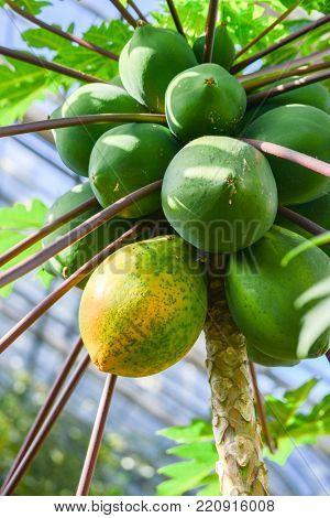 Papaya tree with ripening papayas