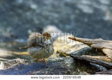 Puff-throated babbler or spotted babbler ruffling its feathers to shake out the extra water and fluffs them up to dry in the air , Thailand