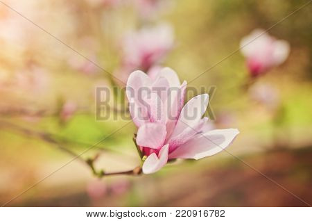 decoration of few magnolia flowers. pink magnolia flower. Magnolia. Magnolia flower