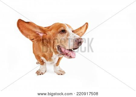 basset hound with his ears flying away isolated on a white background