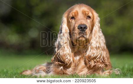 Young Labrador Retriever Dog Puppy