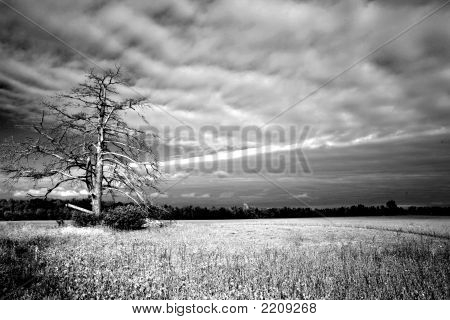 Dead Tree Corn Field