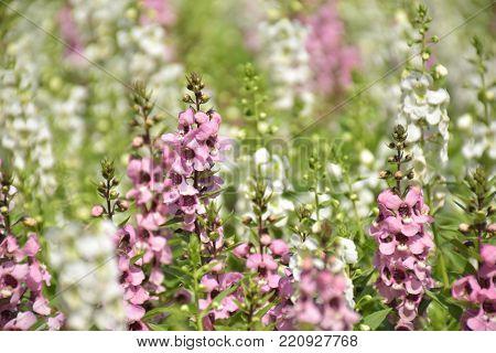 purple and white flowers of Kaen Makrut garden