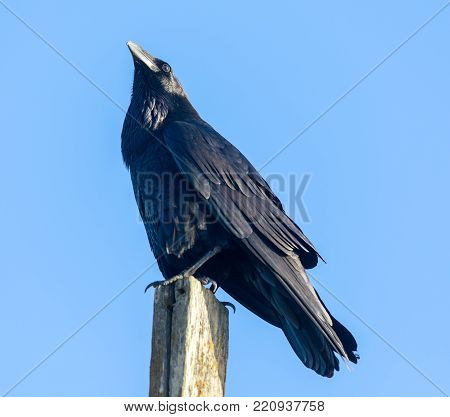 Common Raven (Corvus corax) perched on a pole. Marin County, California, USA.