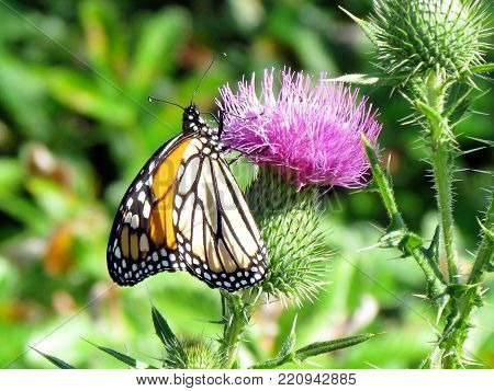 Beautiful Monarch butterfly on lesser burdock flower on a shore of the Lake Ontario in Toronto, Canada, September 25, 2014