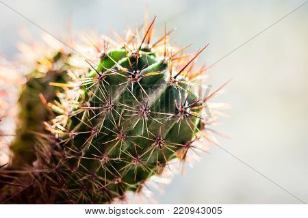 On a light background, the cactus branch with sharp, long flasks