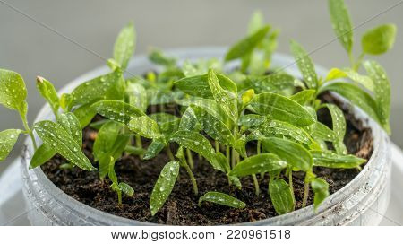 Seedlings of eggplant, tomatoes and peppers growing in a transparent container on the window in the earthen soil in a Sunny day for planting in an urban garden. Closeup.