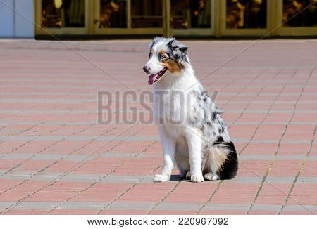Border Collie blue merle seats. The Border Collie is in the park.