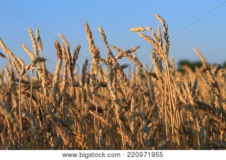 Closeup of wheat field towards sunset in the midwest.