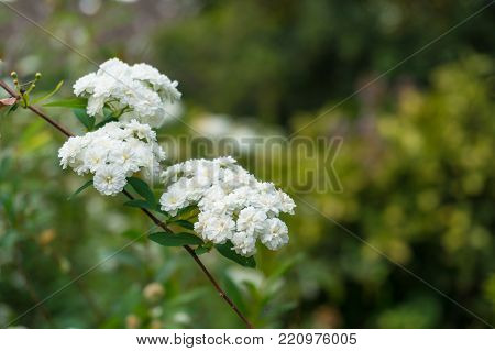White Flower Close Up, Nature Background. Selective Focus, Shallow Dof