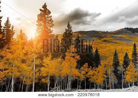 Red Forest Of Fall Aspen Trees In A Black And White Colorado Rocky Mountain Landscape