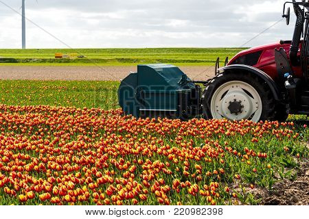 Close view on the tractor harvesting the tulips on the field