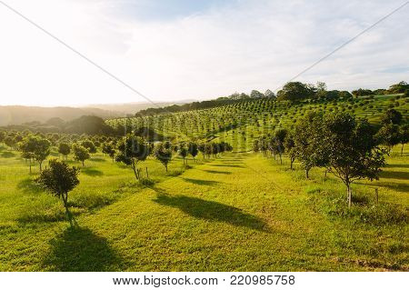 Macadamia orchard  at Byron Bay  Australia