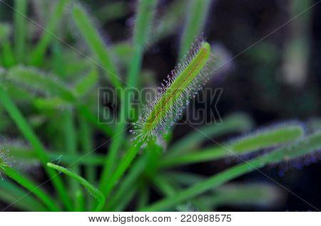 Green Carnivorous plant, macro view on botanic garden Valencia, Spain