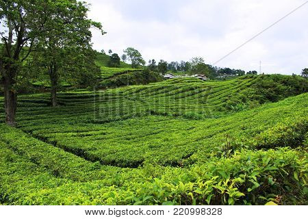 natural tea garden located in tangkuban boat area bandung west java indonesia