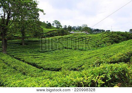 natural tea garden located in tangkuban boat area bandung west java indonesia