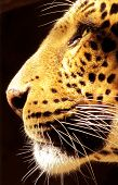 Isolated close-up picture of side profile of Leopard face poster