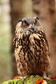 Bubo bubo. Owl in a natural environment. Wild nature of Czech. Autumn colors in the photo. Owl Photos.Owl. Photo was taken in the Czech Republic. poster