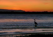 Heron stands in shallow waters of a Florida Bay at sunset. poster