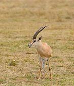 "Closeup of Grant's Gazelle (scientific name: Gazella granti, robertsi or ""Swala granti"" in Swaheli) in the Ngorogoro National park, Tanzania poster"