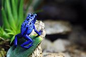 A macro shot of a Blue Poison Dart Frog (Dendrobates Azureus) in a tropical setting. poster