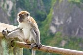 A urban male Macaque monkey seated on a hand rail in front of a valley drop exposing him self. poster