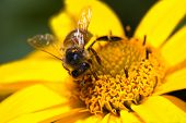 Honey-bee or Apis mellifera busy gathering nectar and pollen on yellow flowers in summer poster