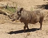 A View of a Warthog a Mammal LIving in Africa poster