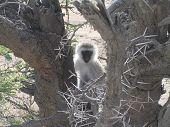 Vervet monkey in a tree in Serengeti National Park Tanzania poster